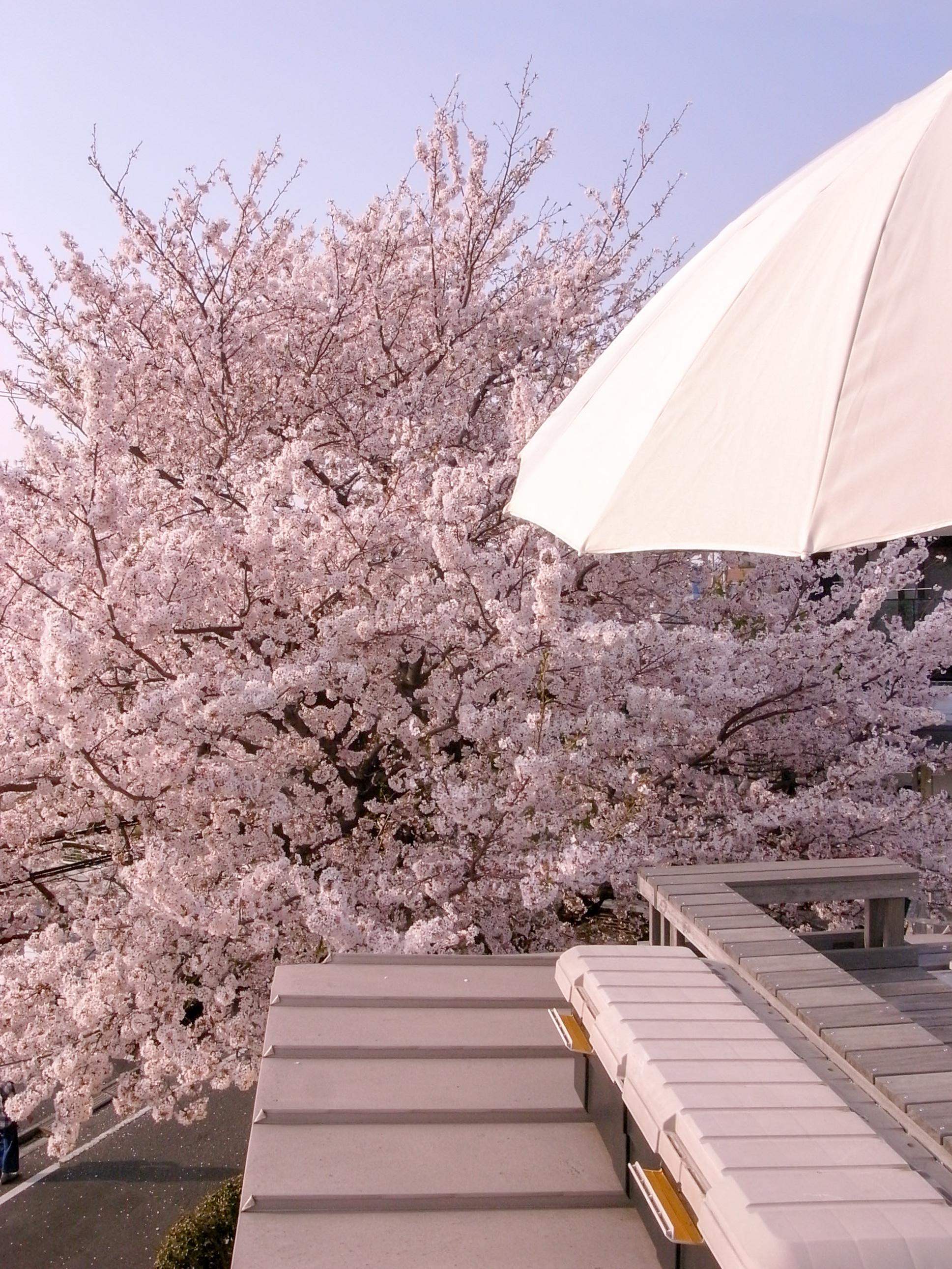 屋根上デッキから見る桜